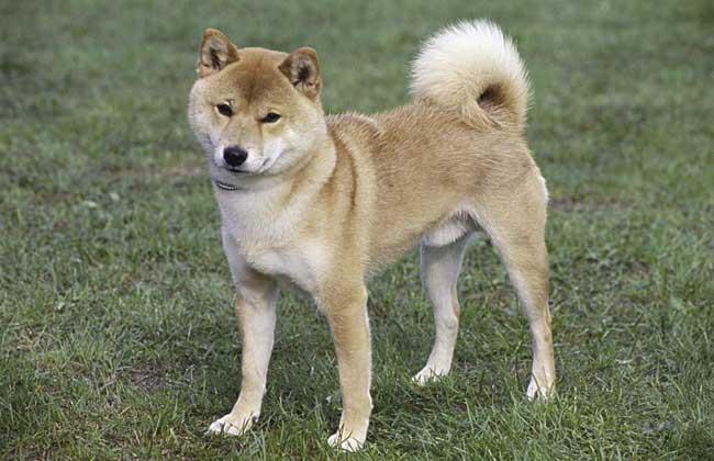 日本柴犬怎么养?