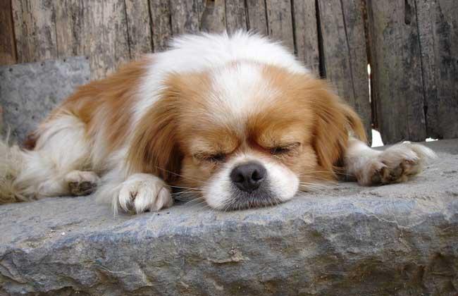 狗狗身上有跳蚤怎么办 第2页 宠物饲养 黔农网