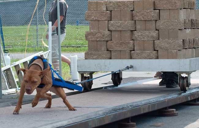 比特犬训练视频