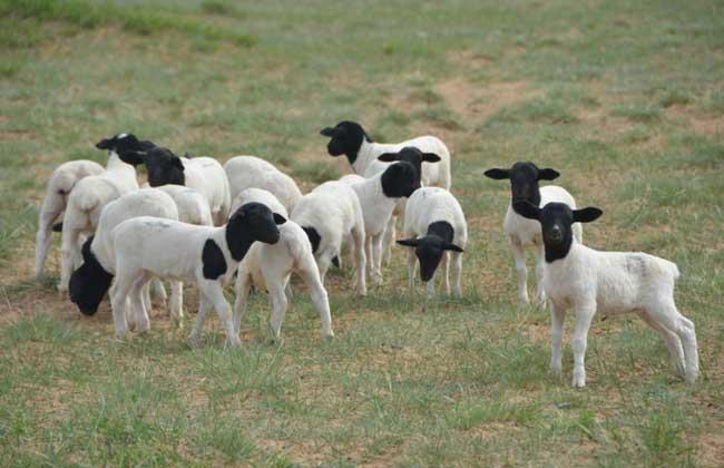 杜泊羊养殖技术视频
