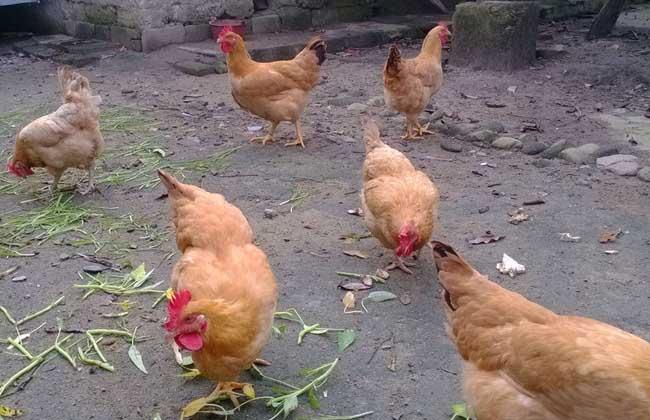 常见蛋鸡品种有哪些?