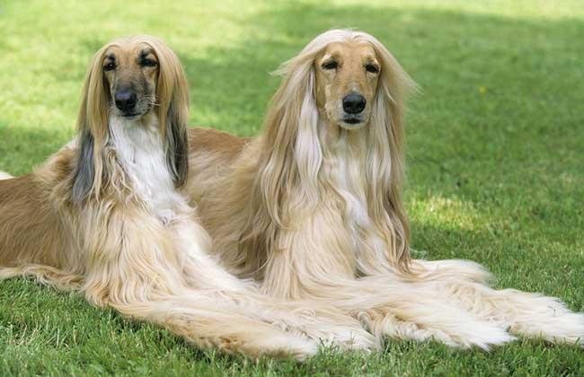 阿富汗猎犬为什么被禁养?