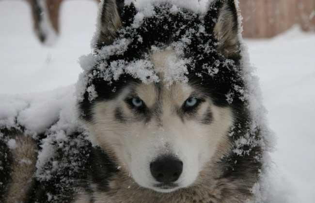阿拉斯加雪橇犬和哈士奇的区别