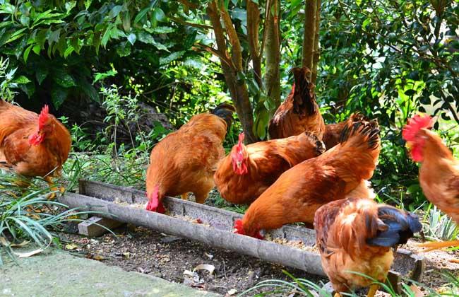 养1000只鸡投资多少钱