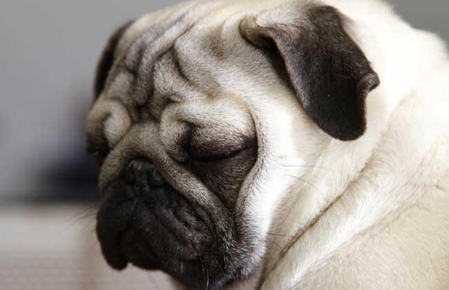 巴哥犬的性格特点