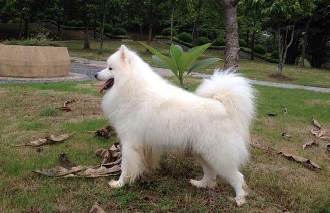 爱斯基摩犬和萨摩耶犬的区别