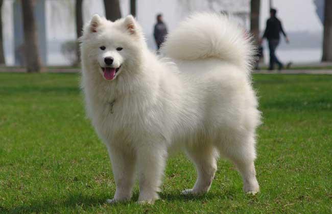 爱斯基摩犬