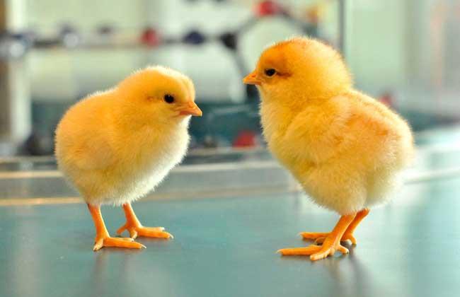 蛋鸡苗育雏技术