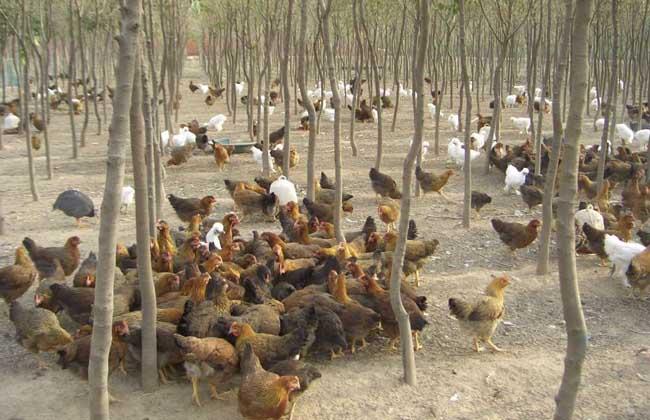 散养蛋鸡舍建设方案