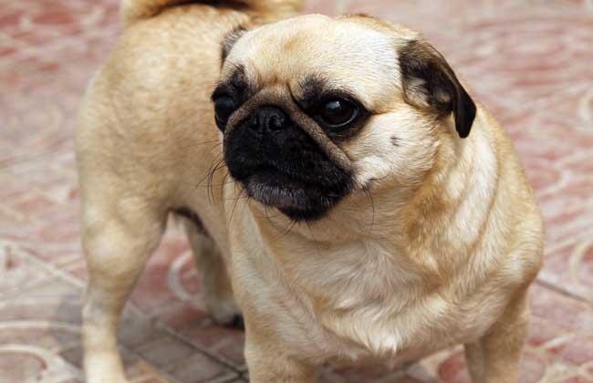 什么狗长不大又聪明图片