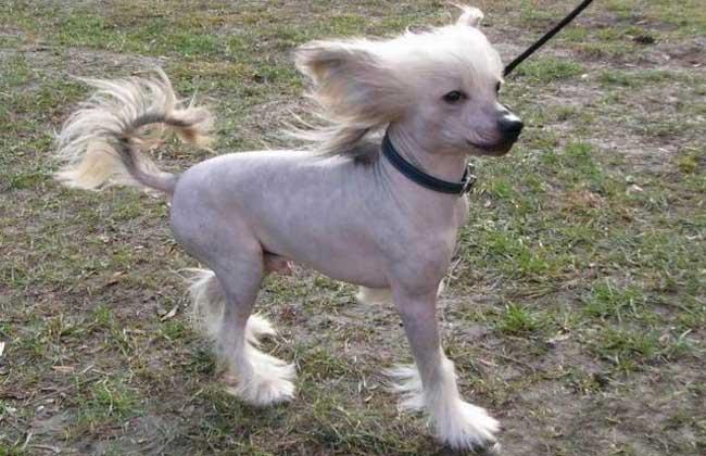 中国冠毛犬