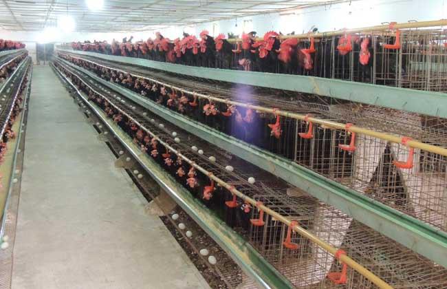蛋鸡淘汰管理技术