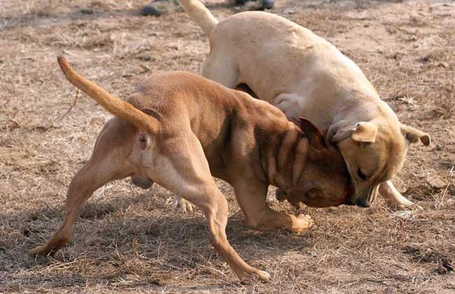 斗狗品种有哪些?