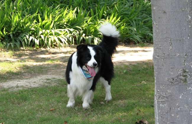 罗威纳犬性格_边境牧羊犬性格_杜高犬性格