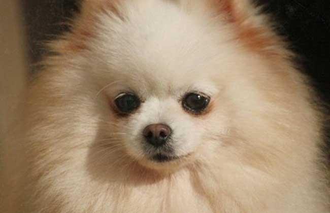 博美犬的性格特点