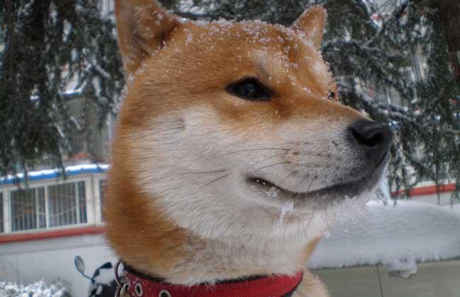 日本柴犬智商高吗?