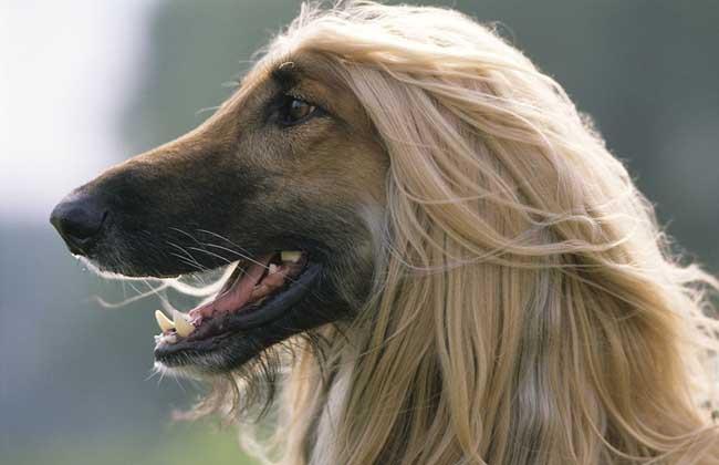 阿富汗猎犬多少钱?