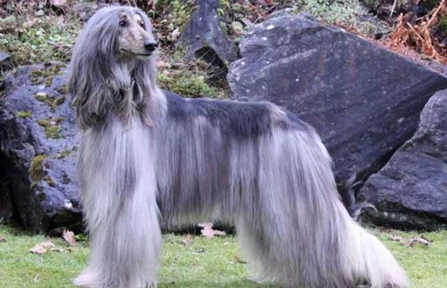 阿富汗猎犬多少钱