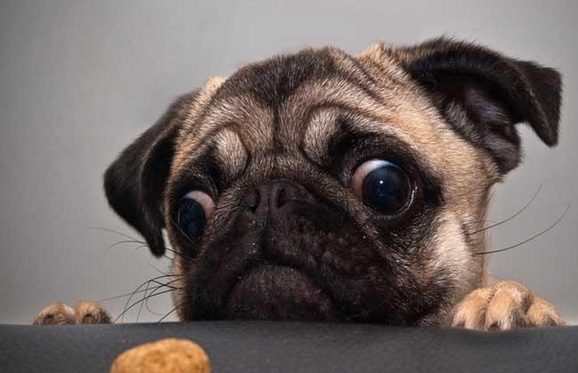 巴哥犬价格多少钱?