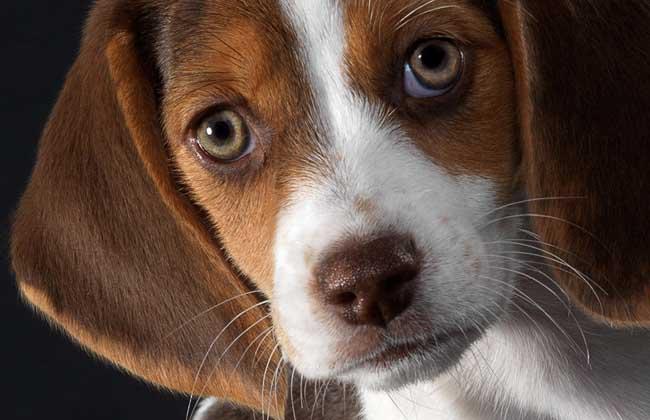 比格犬价格多少钱