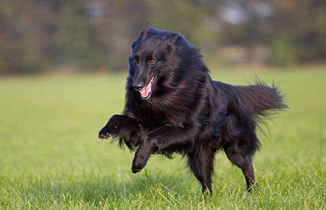 比利时牧羊犬多少钱