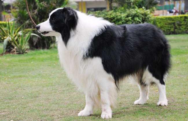 边境牧羊犬价格多少钱