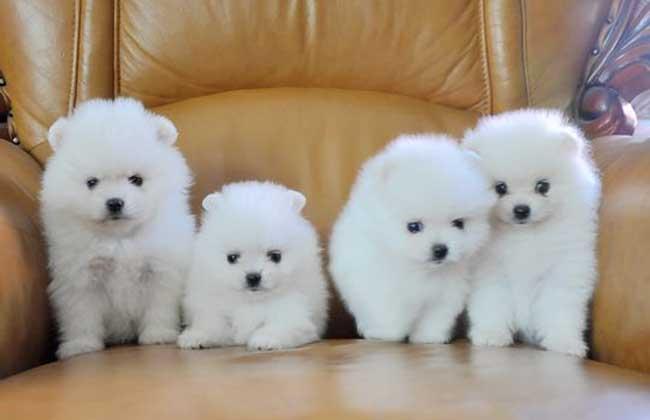 茶杯犬的品种鉴别 1、茶杯贵宾犬:茶杯贵宾犬起源于美国,发展于日韩,如今已得到进一步的改良,体型十分的小。在19世纪时期,玩具贵宾犬因基因突变而诞生了,成为最早的茶杯犬,经美国繁殖家的培育,逐渐发展成现今的模样,小巧可爱,成为了众贵宾爱好者的新宠。 2、茶杯约克夏:茶杯约克夏是一种很吸引人的玩具型犬种,迷人又聪明,个子虽小,却是勇敢、忠诚又富感情。茶杯约克夏生气勃勃,冲动,勇敢,但是固执已见。友善,机警,倔强,好动,动作敏捷且轻快,对主人热情、忠心,对于陌生人则退避三舍。它很容易和家里的成员相处,包括猫