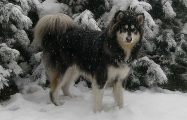 阿拉斯加雪橇犬好养吗?