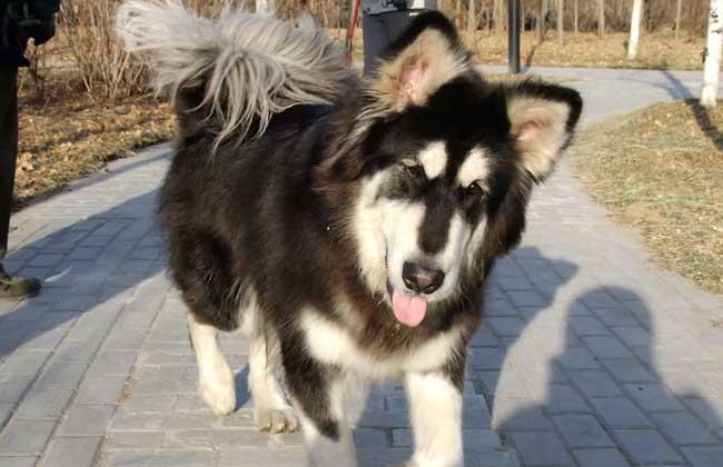 拉斯加犬好养吗_阿拉斯加雪橇犬好养吗?