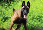 比利时牧羊犬怎么训练?