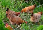 养1000只鸡投资多少钱?
