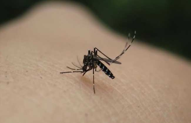 蚊子种类图片