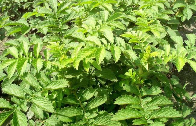 仙鹤草的种植技术