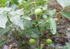 核桃树苗几年挂果?