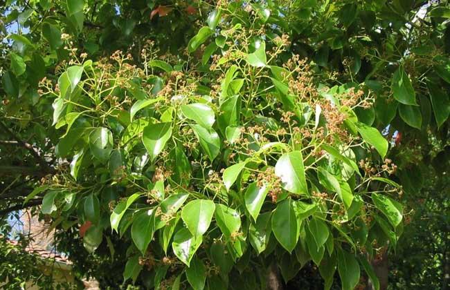 香樟树的作用