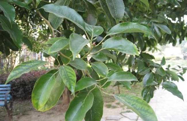 香樟树种植技术