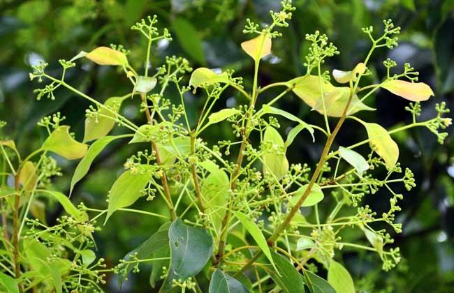 香樟树能驱蚊吗?