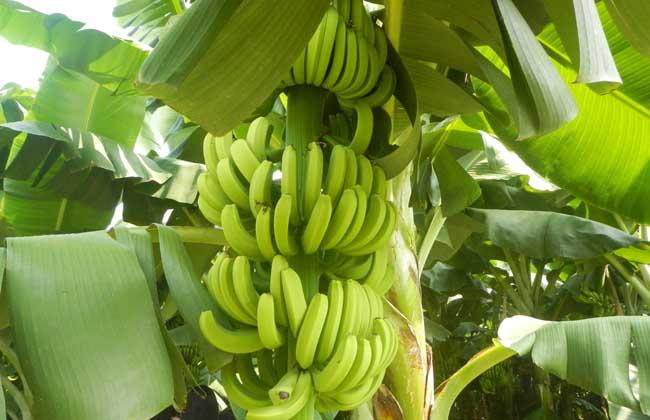 香蕉种植技术