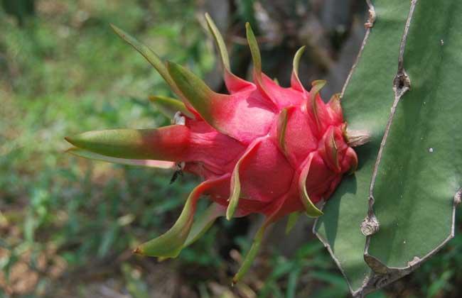 火龙果是仙人掌的果实吗?