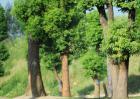 香樟树有什么特点?