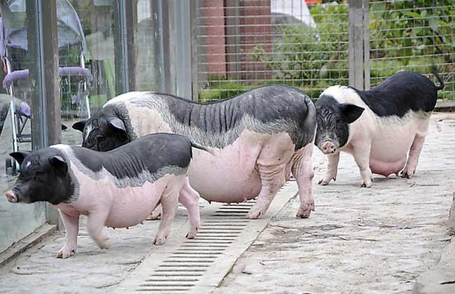 香猪的养殖前景