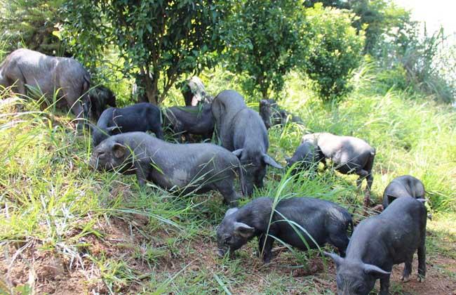 香猪的养殖利润