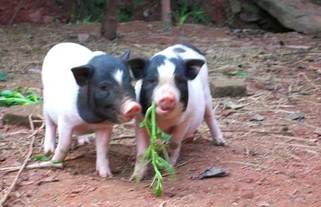 香猪的养殖技术