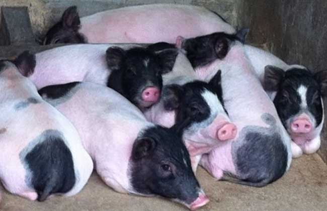 巴马香猪价格多少钱