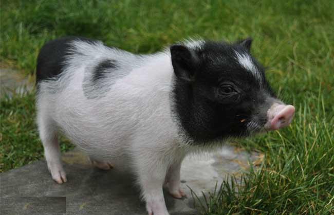 小香猪能长多大?