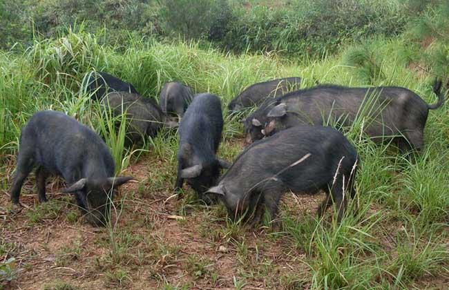 藏香猪养殖技术视频