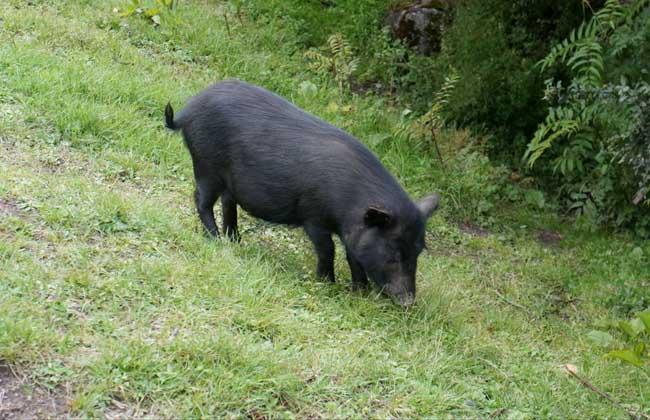 藏香猪的采食习性