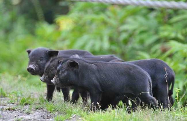 藏香猪的栖息习性
