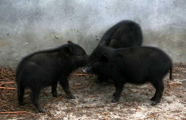 藏香猪的迁移习性