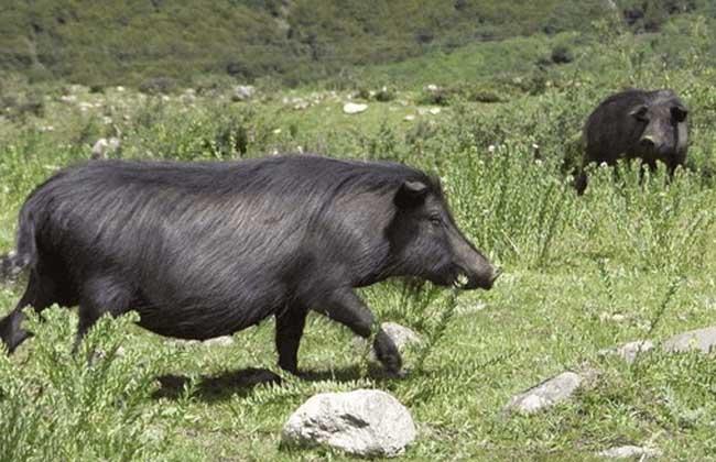"""藏香猪 藏香猪别称人参猪,在甘肃甘南和岷县地区其因常拱食蕨麻也称为""""蕨麻猪"""",为川西高原、云南、西藏、甘肃甘南和岷县特有的一种古老畜种资源,属于外牧养类,主要原产地四川阿坝州、甘孜州、云南香格里拉、西藏林芝地区、甘肃的甘南和岷县地区。"""